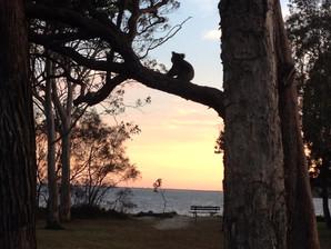 Here We Go Again - Koalas At Risk in Port Stephens Land Sale