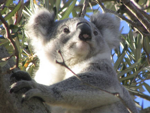New Laws Failing the Koalas of Port Stephens