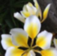 sensesandstillness_frangipani_bali_yoga_wellness_flower