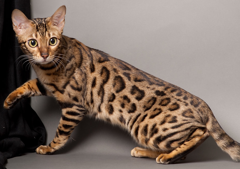 bengal-cat-3.jpeg