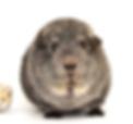 guinea pig, rat, Sunshine Coast Pet Store, Sunshine Coast Pet Shop, Sunshine Coast Plant Supplies, Little Mountain Produce, Sunshine Coast Nursery, Plant Supplies