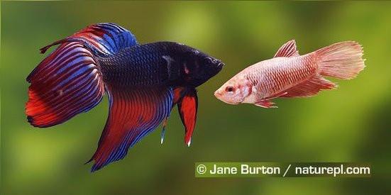 Fighting Fish.jpg