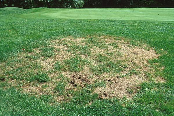 grub-damaged-lawn3.jpg