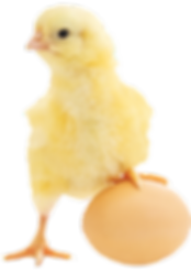 Pintinho Omelete