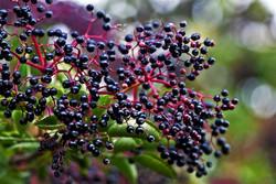 how-to-grow-elderberry