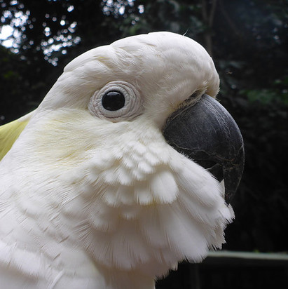 Fritz, the Sulphur-Crested Cockatoo
