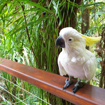 Fritz, the Sulphur Crested Cockatoo
