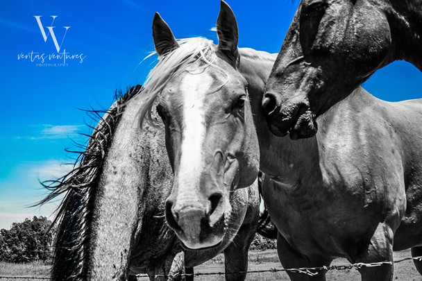Kansas Horses Veritas Ventures Photography