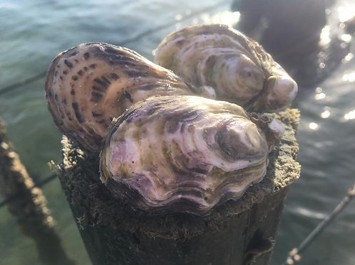 Orders for 17th, 18th & 19th September BAG OF OYSTERS - 3 DOZEN - UNSHUCKED