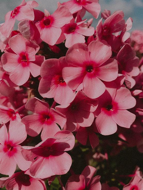 pink%20petaled%20flower_edited.jpg