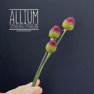 Drumstick Allium.jpg