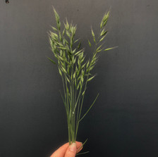 Grass 'Lop'