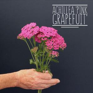 Achillea Pink Grapefruit.jpg