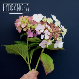 Hydrangea 'Mix'
