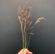 Grass ' Common Velvet'
