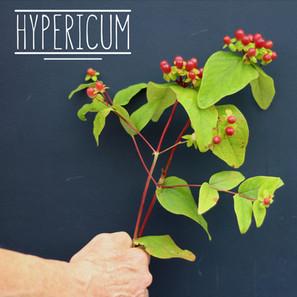 Hypericum.jpg