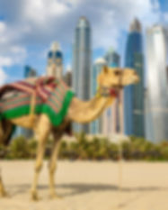 Camel in front of Dubai Marina in a summ