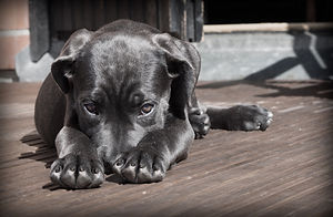 animal-cane-corso-canine-52997.jpg