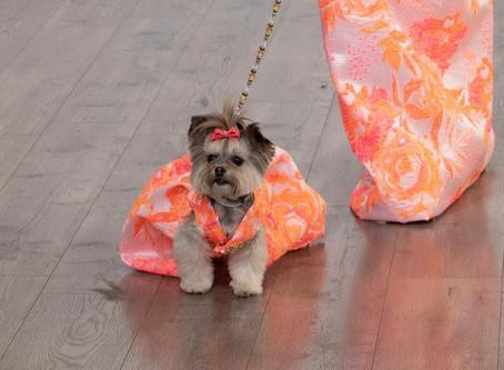 model Arianna Merejo With Canine Model: Liv Morkie walks in the Anthony Rubio Women's Wear & Canin