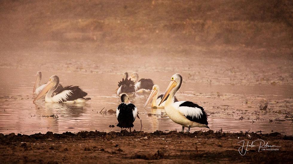 Pelicans Of Purga