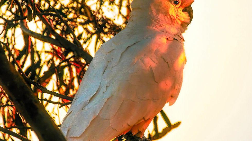 Cockatoo Sunset