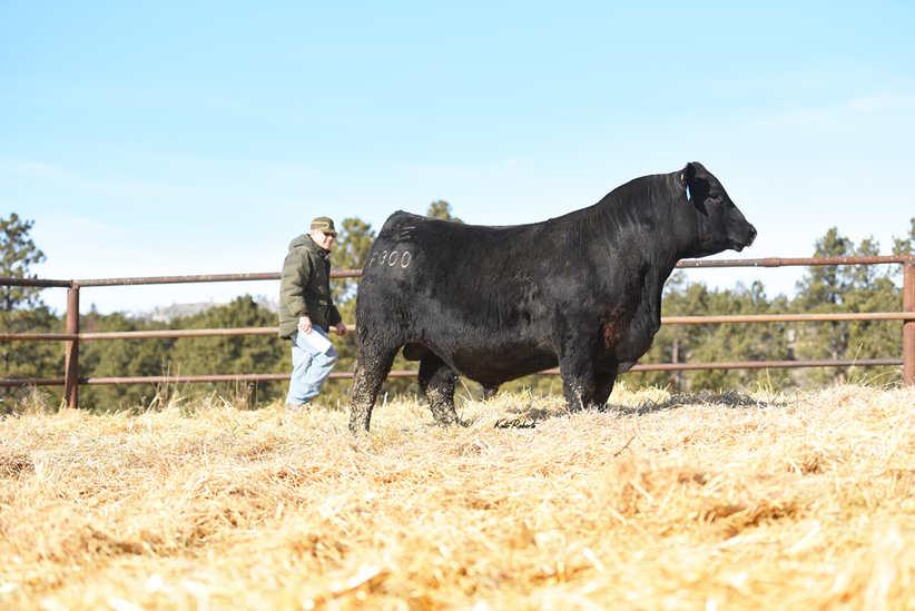PINE COULEE Cattleman 1.jpg