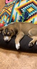 Bowdie SFTS orthopedic dog.jpg
