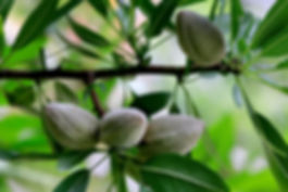 Almonds on Tree.jpg
