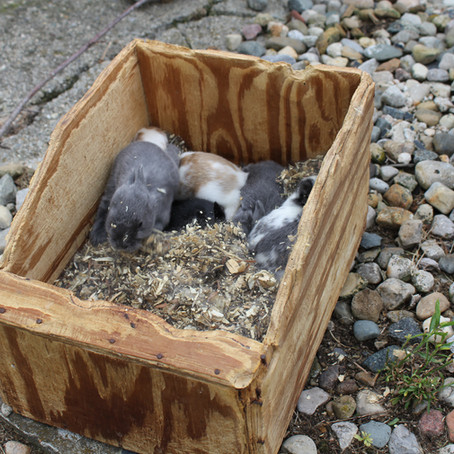 "Rabbits 101- ""Nest Box Tips"" by Tex Thomas"