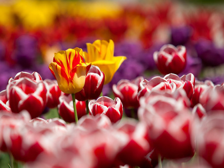 Tulip events to mark 75th anniversary of Canada's liberation of Holland