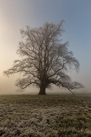 Old Oak in the mist | Drymen