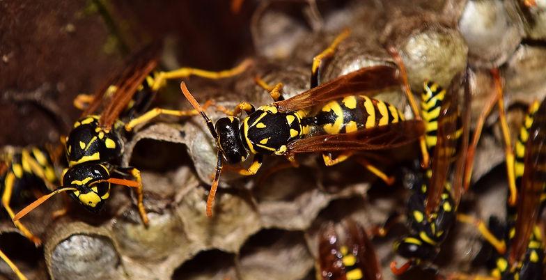 wasps-2702482_1920.jpg
