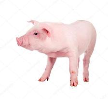 Equipo para cerdos