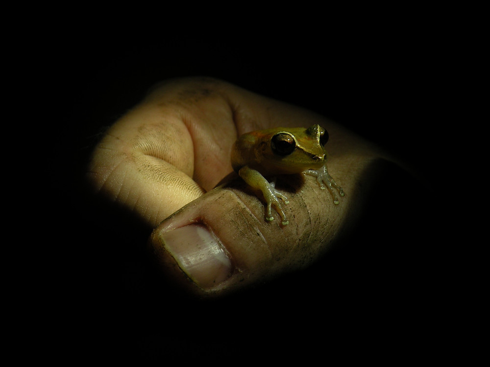 If you are in a rain forest that is 300 m above sea level, you are more likely to see a Grenada Piping Frog! Look out for a brown back, cream belly, dark strip from the eyes to armpit, orangery-brown thighs and bronze upper irises.