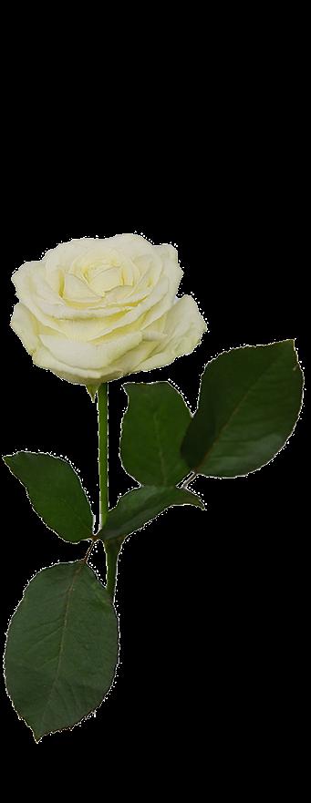 rosigezeiten_rose3-u12681.png