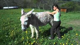 Shiatsu pour les ânes : vers un nouveau bien être?