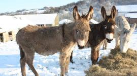 Comment bien nourrir son âne en hiver?