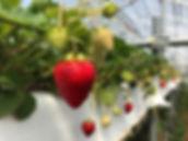 フザリウム対策, 無農薬, 有機栽培, オーガニック