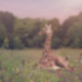 Baby Giraffe Butterfly Chase.jpg