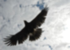 Hawk flight during demonstration