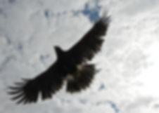 Hawk flight during demonstration