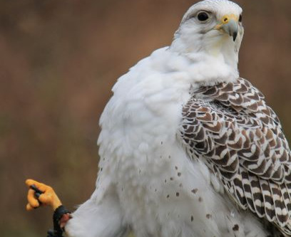 "Meet the birds -Casper the ""un""friendly falcon"