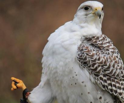"Meet the birds -Casper the ""un""friendly falcon"