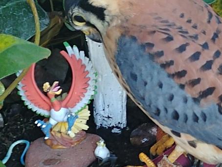 Meet the birds- Pico the American Kestrel