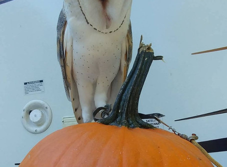 Meet the birds- Percy the Barn Owl