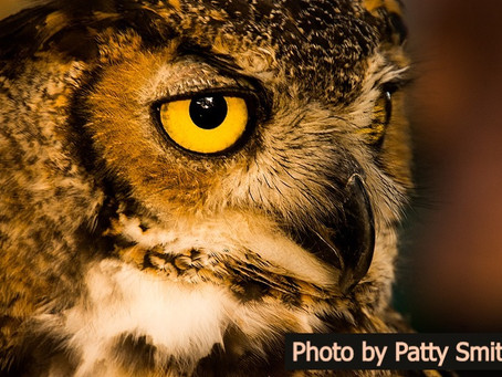 Meet the birds- Scooby the Great Horned Owl