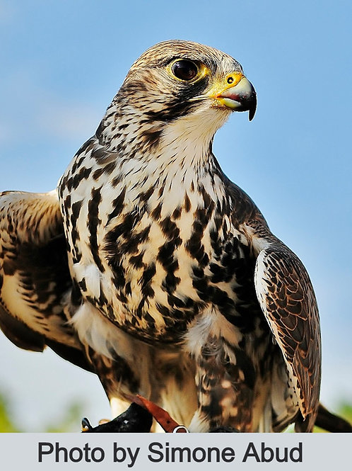 Bronze sponsor for one falcon