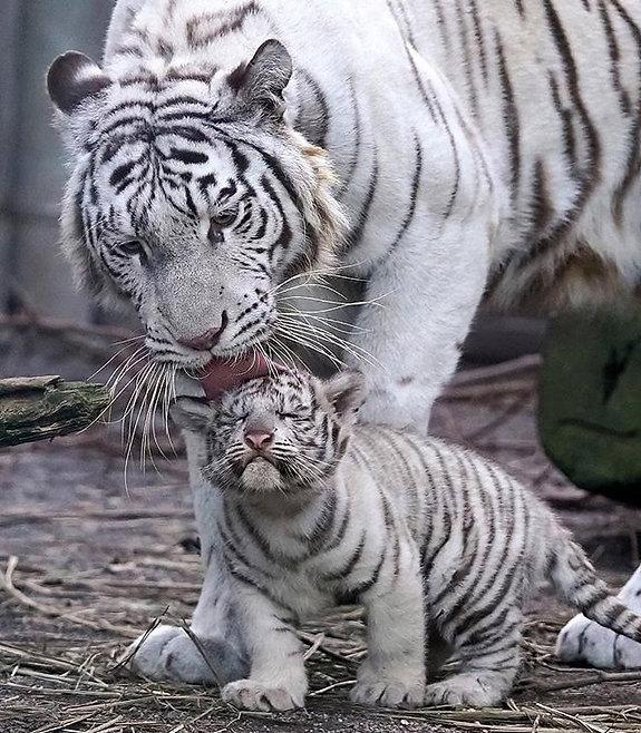 Tigre 5.jpg