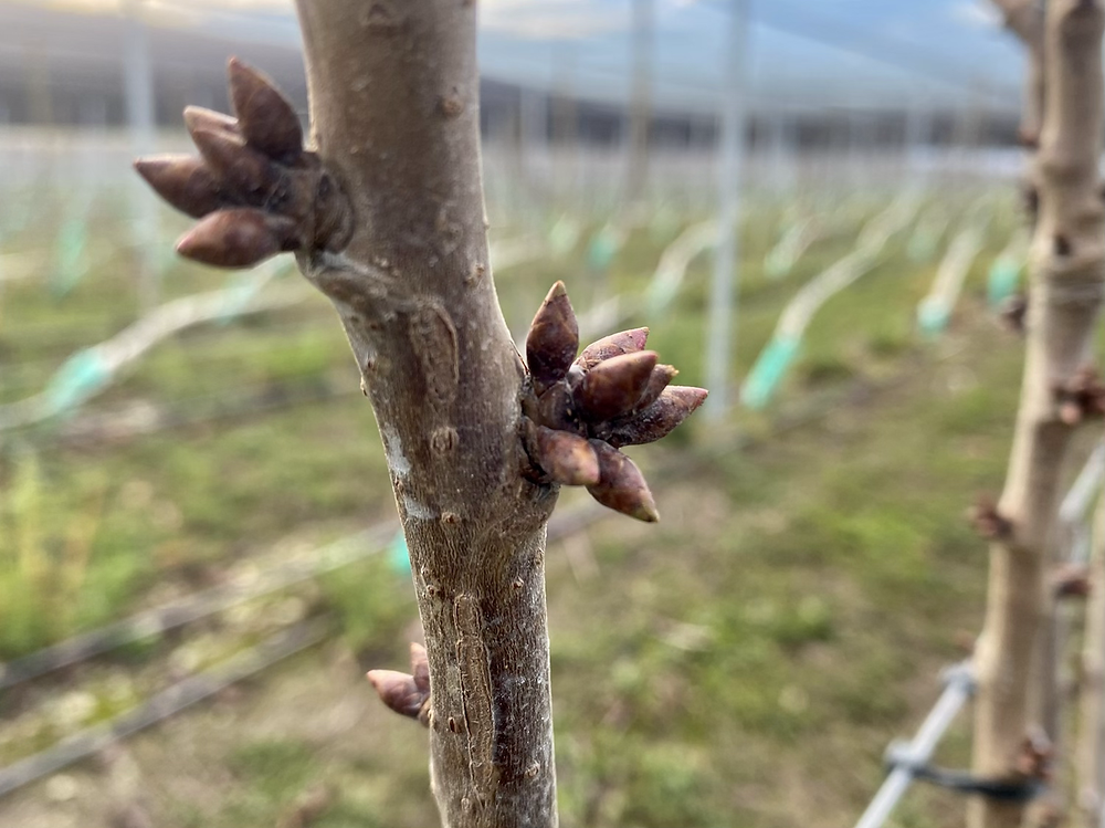 Fruit buds on cherry trees
