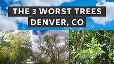 The Top 3 Worst Trees to Plant in Denver, CO